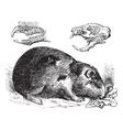 Guinea pig vintage engraving vector image