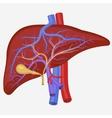 Human internal liver vector image