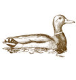 engraving mallard duck vector image