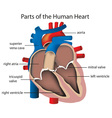 Parts of the heart vector image