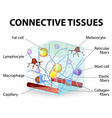 connective tissue vector image