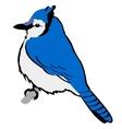 Blue jay vector image