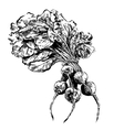 black hand drawn of beet EPS vector image