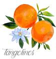 Tangerines vector image
