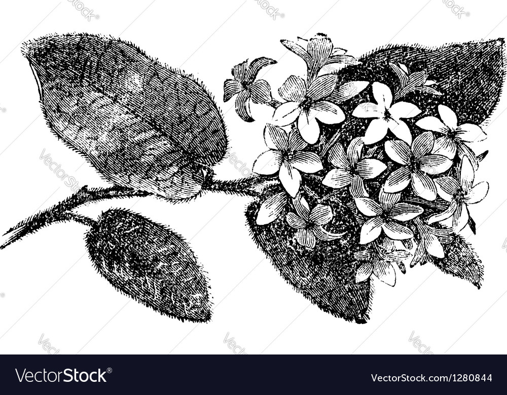 Mayflower vintage engraving vector