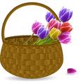 tulips in a wicker basket vector image vector image