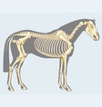 Horse skeleton vector image vector image