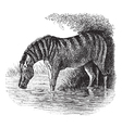 Donkey vintage engraving vector image