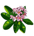 with plumeria flowers and frangipani vector image