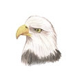 Eagle watercolor isolated bird vector image