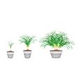 Lemon Grass Plants in Ceramic Flower Pots vector image