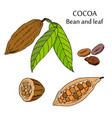 cocoa bean and leaf vector image
