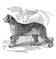 Cougar vintage engraving vector image vector image
