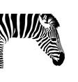 Zebra isolated vector image