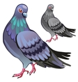 Beautiful pigeon closeup on white background vector image
