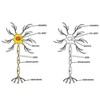 neuron vector image vector image