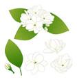 jasminum sambac - arabian jasmine vector image