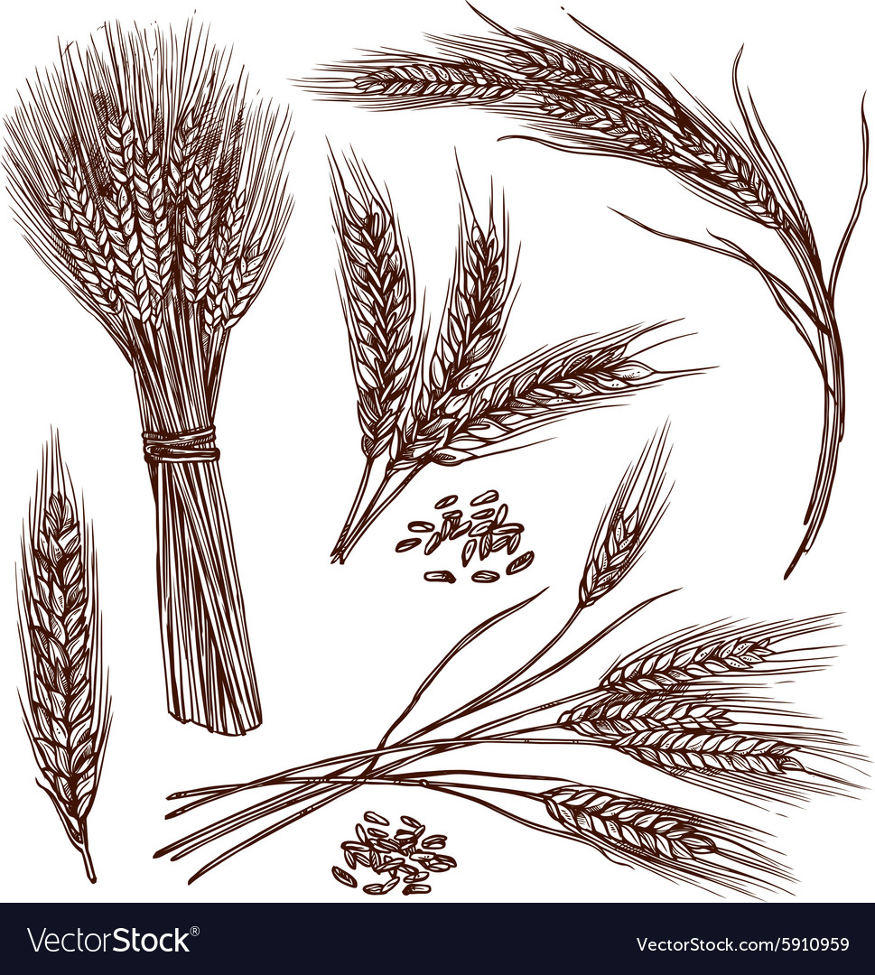 Wheat sketch set vector