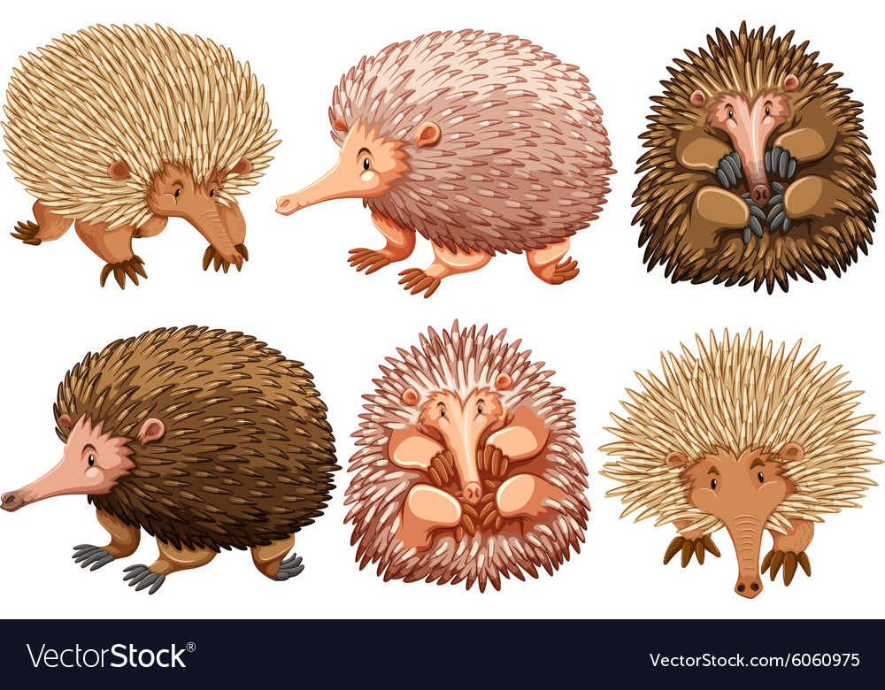 Brown and pink echidnas on white vector