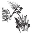 Swainsona formosa engraving vector image vector image