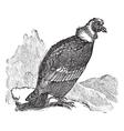 Andean Condor vintage engraving vector image