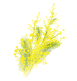 Mimosa flowers vector image