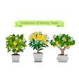 money tree in flower pot set vector image