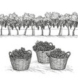 vineyard and rape branches and grapes in basket vector image