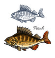 perch or bass fish sketch for fishing sport design vector image