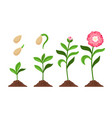 pink flower growth process icons vector image