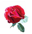 Delicate red rose flower isolated vector image