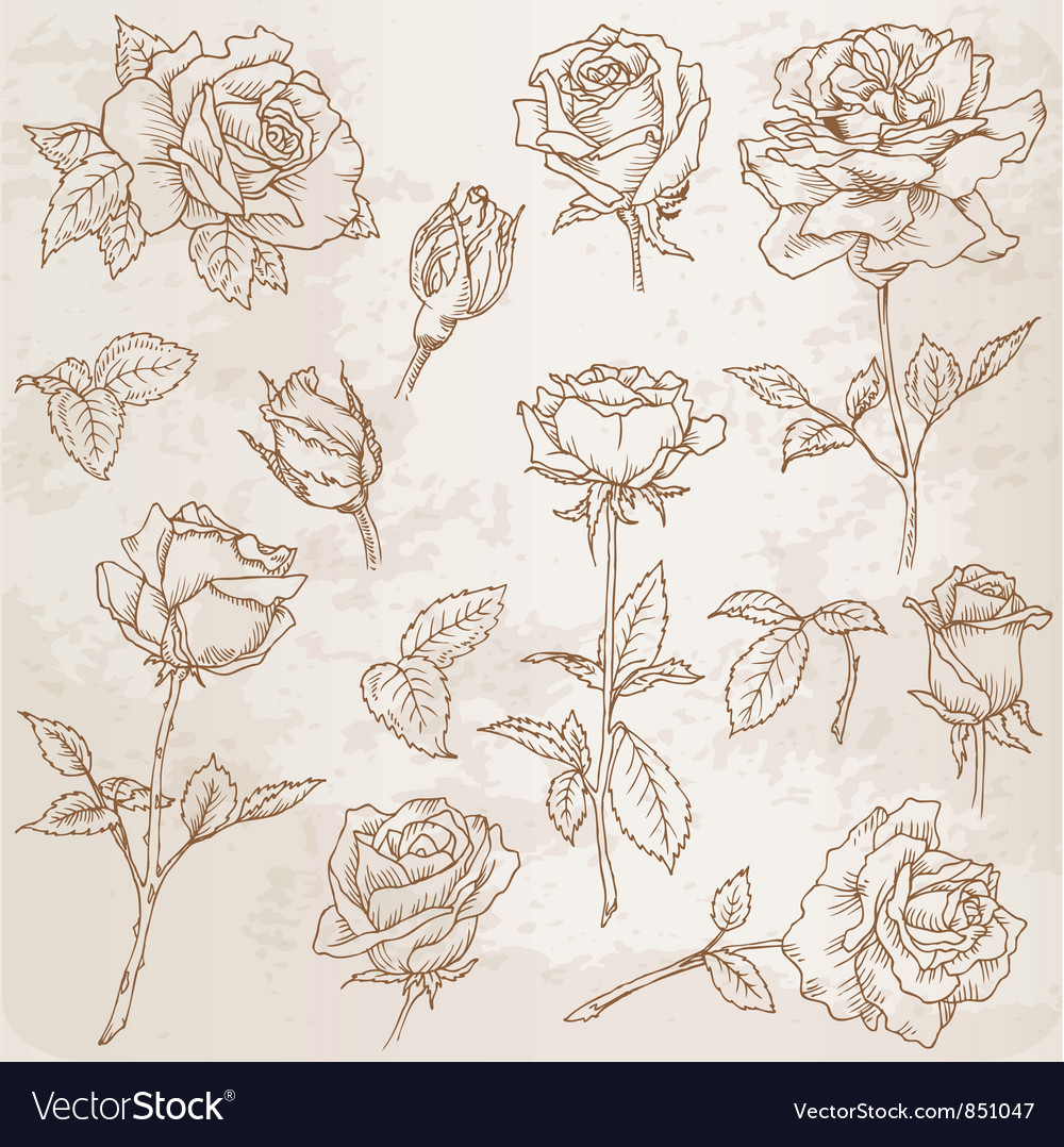 Flower set detailed hand drawn roses vector