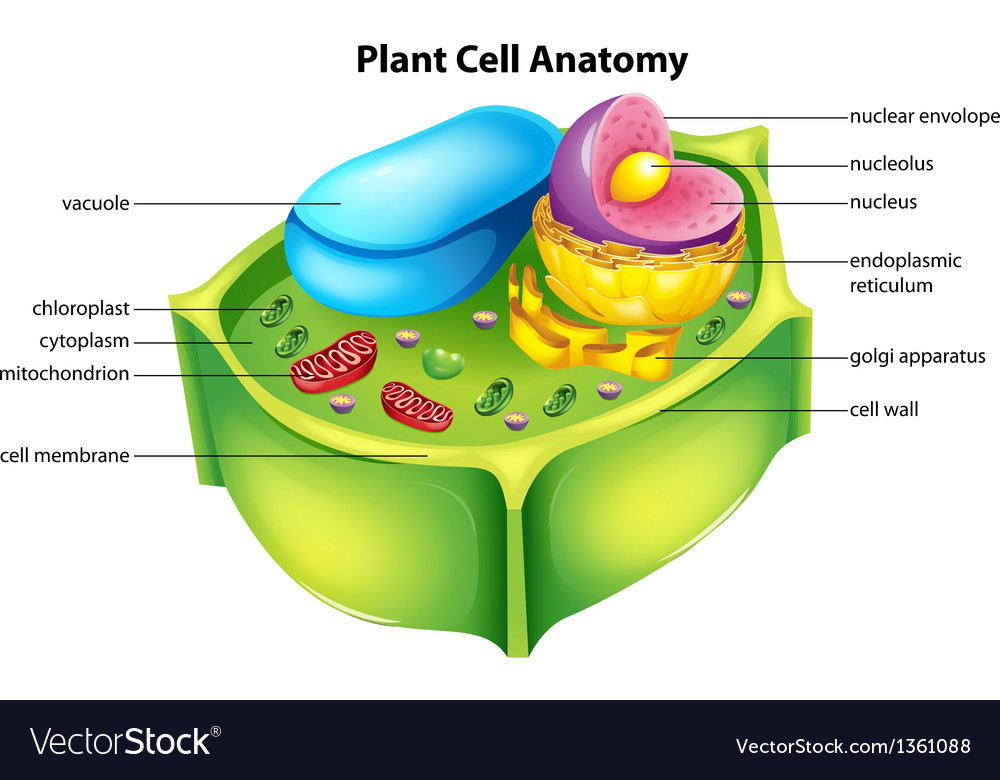 Plant cell anatomy vector
