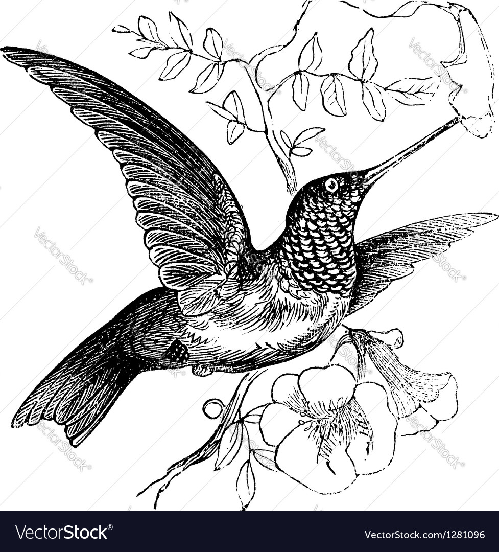 Hummingbird vintage engraving vector