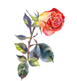 bright rose watercolor vector image