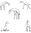 Giraffes A sketch by hand Pencil drawing vector image