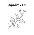 squaw vine mitchella repens or partridge berry vector image
