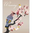 Waxwing on the cherry branch vector image