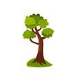 summer deciduous tree vector image