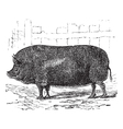 Essex pig vintage engraving vector image