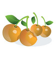 cherry or prunus sp vector image