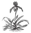 Paphiopedilum Orchid vintage engraving vector image