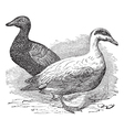 Common Eider vintage engraving vector image
