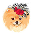 Fashion dog pomeranian breed smiling vector image