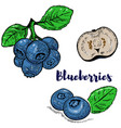 set of colorful blueberries isolated on white vector image
