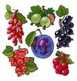 Garden berries - red black currant gooseberry vector image