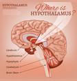 hypothalamus image vector image