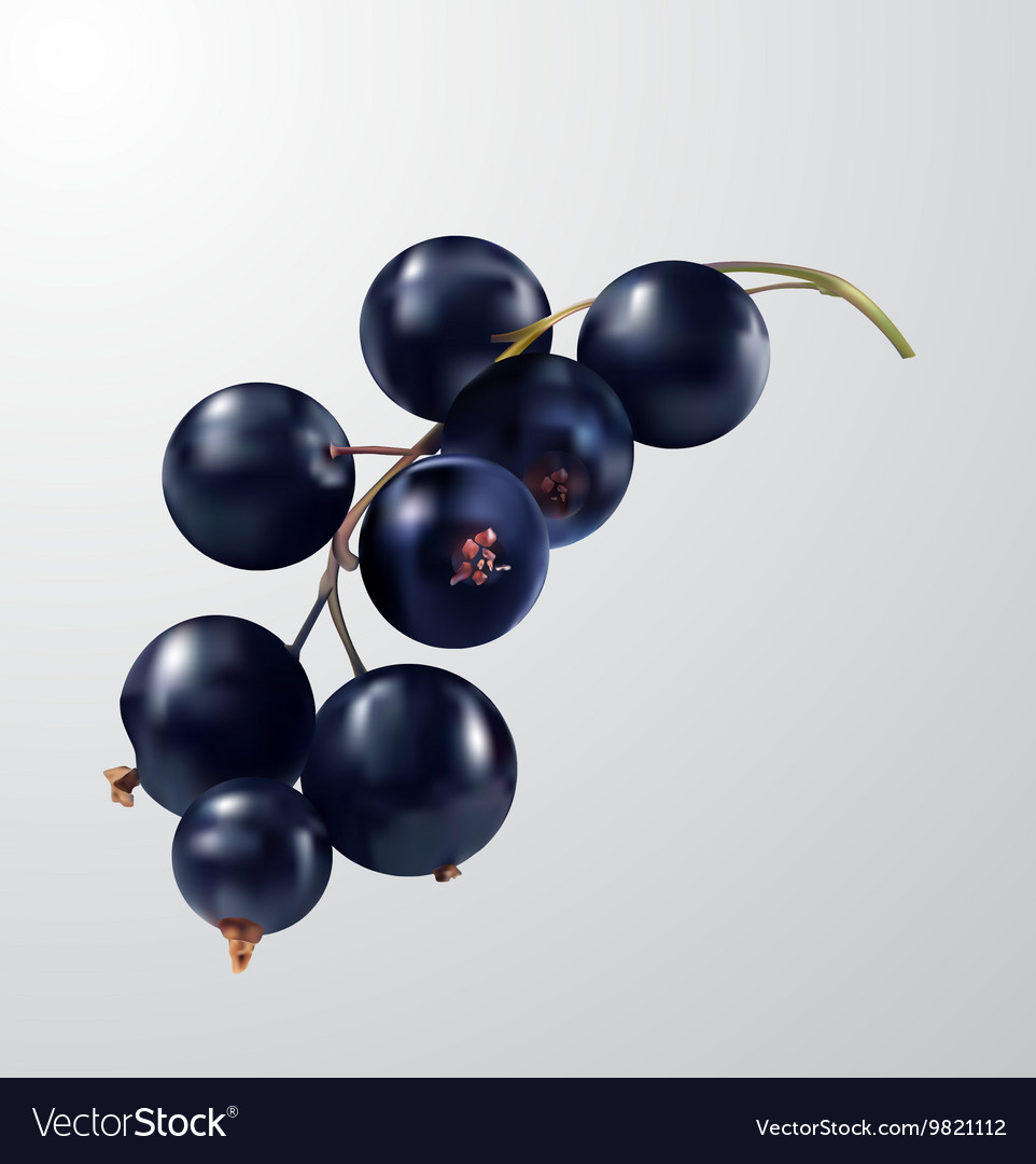 Watercolor fruit black currant isolated vector