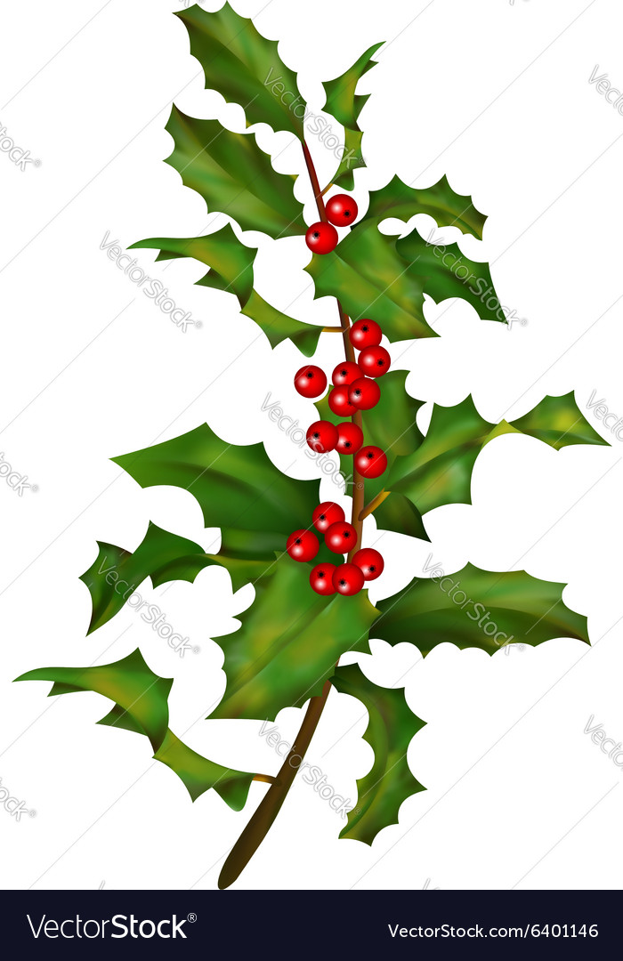 Holly branch with berries vector