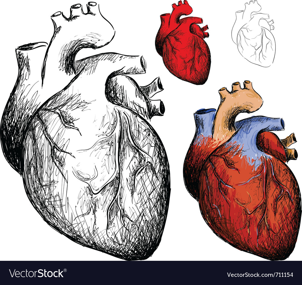Realistic heart vector